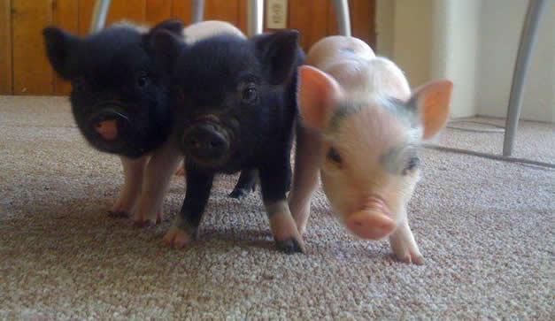 Cerdos, animales de compañía (Una opción para los amantes de estos ...